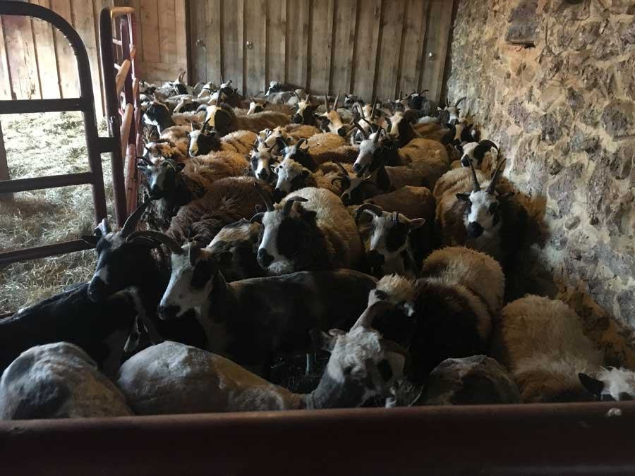 Shearing Parties - Fun or Folly?